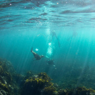 Snorkelers and California Sea Lions, Channel Islands, CA.
