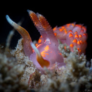 A Stearn's Aeolid Nudibranch. This species rarely exceeds an inch in length.