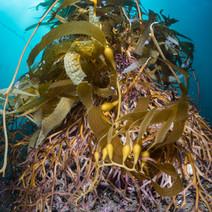 Macrocystis holdfast (Giant Kelp root)