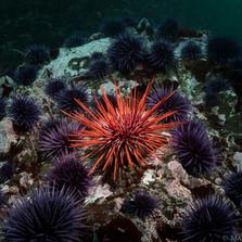 Red Sea Urchin among Purple Urchins, Mendocino CA