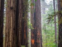 Giant Northern California Redwoods