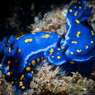 One of my favorite encounters ever out at Coal Oil Point; two California Blue Dorid Nudibranchs. This species went extinct from California waters in the mid-1980's but started to reappear in the early 2000's. This was one of the only sightings of this species off Coal Oil Point.