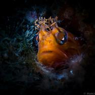 Yellowfin Fringehead, Santa Barbara CA
