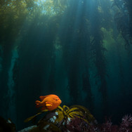 A lone Garibaldi in clear water off Anacapa Island, CA