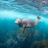 Harbor Seal off Anacapa Island, CA.