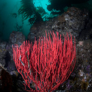 Red Gorgonian and Scuba Diver, Anacapa Island, CA