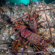 A cluster of California Spiny Lobster underneath a ledge. Many of the overhangs and ledges of reef off Coal Oil point are covered with lobster.