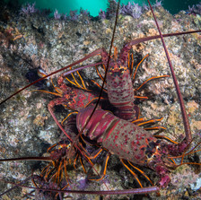 California Spiny Lobster, Santa Barbara, CA