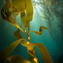 Backlit Macrocystis Giant Kelp. This is what comrises the majority of the kelpbed off Coal Oil Point.