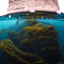 Macrocystis pyrifera Giant Kelp in the current, Channel Islands, CA