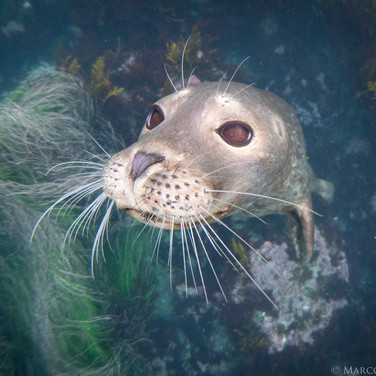 Curious Harbor Seal, Anacapa Island, CA