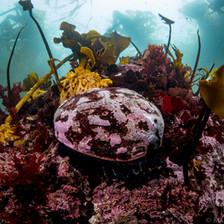 Red Abalone, Mendocino CA