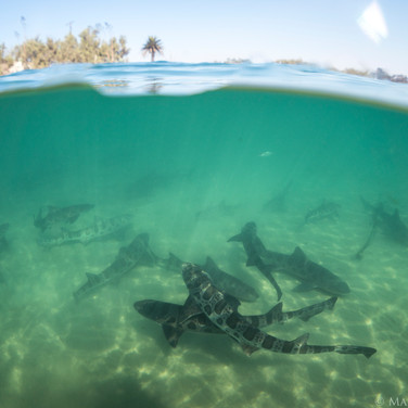 Leopard Sharks schooling in the shallows just west of the tip of Coal Oil Point. The palm tree in the background is right next to the old grafitti cement house on the beach.