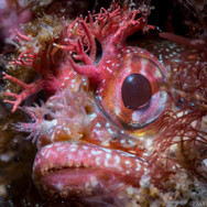 A Yellowfin Fringehead. The entire fish is only a few inches in length, but what you see is only its head peering out of a hole.