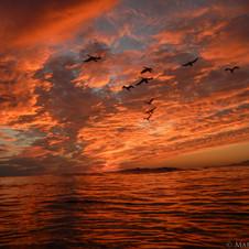 Cormorants cruise by a stunner in Isla Vista, CA
