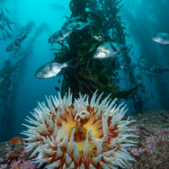 Pile Perch above a large Fish Eating Anemone on the Central Coast of CA
