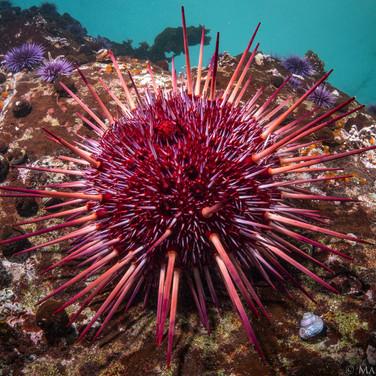 Red Sea Urchin, Sonoma County, CA