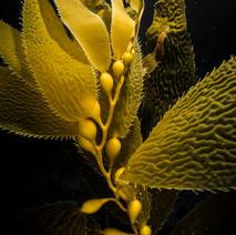 Macrocystis Giant Kelp portrait.