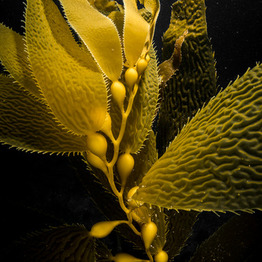 Macrocystis Giant Kelp portrait.