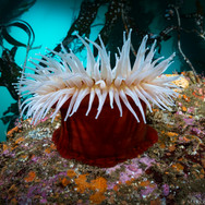 Fish Eating anemone, Carmel CA