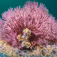 A Pink Gorgonian Sea Fan covered in Brittle Stars on a deep reef off Anacapa Island, CA