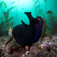 A Giant Black Sea Hare roams the reef looking for a group to mate with. These sea slugs can grow up to three feet long.