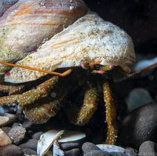 Hermit Crab, Point Arena, CA