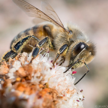 Honey Bee harvesting, Southern California