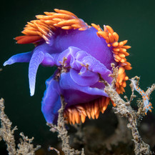 A Spanish Shawl Nudibranch posing perfectly with a small Three Lined Aeolid Nudibranch by its side. The larger Spanish Shawl Nudibranch is about an inch long