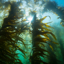 Classic Southern California Kelpbed