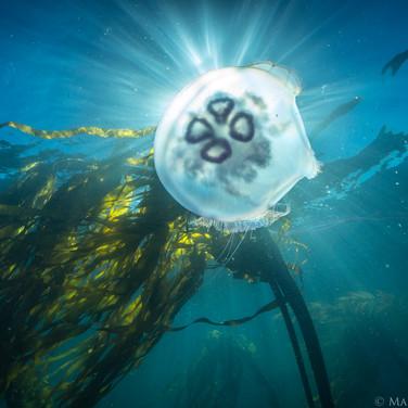 Moon Jellyfish and Bull Kelp, Big Sur, CA