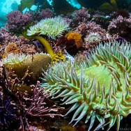 Giant Green Anemones adding colors to a shallow reef scene