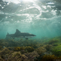 A four foot long Leopard Shark, cruising through the shallows.