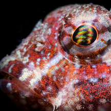 A Snubnose sculpin. The entire fish was about 1.5 inches in length, the eye being only a few millimeters across.