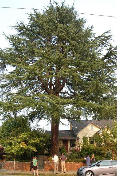 15G Deodar Cedar