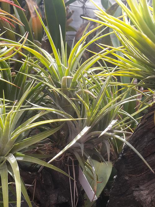 victoriana (Ionantha x brachycaulos)