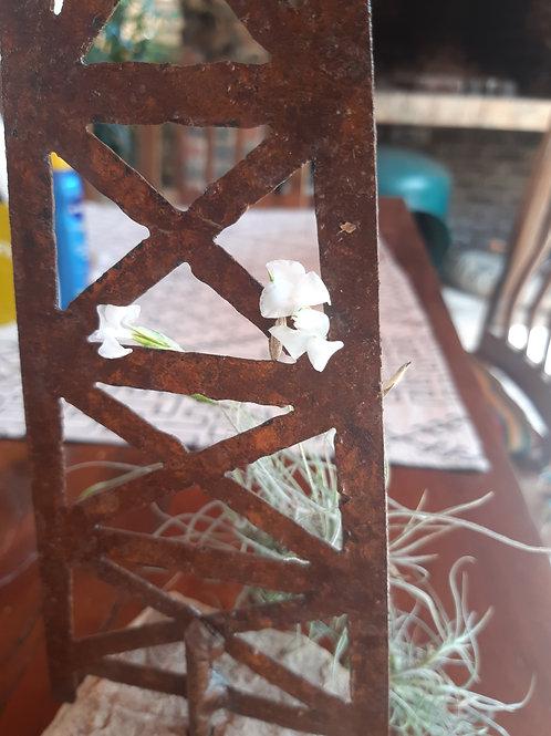 """mallemontii """"white flower"""""""