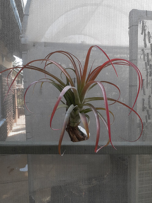 capitata orange x streptophylla