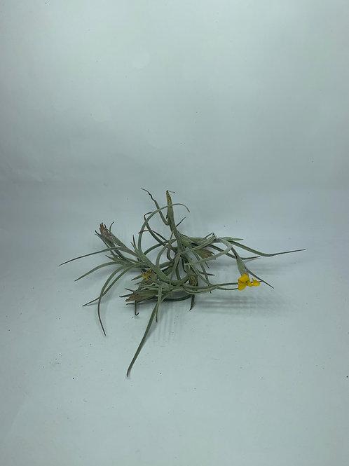 crocata orange fragrant flower (tristis)