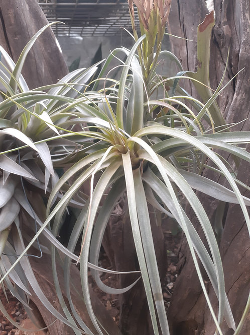 Toolara (T.streptophylla x T.concolor)
