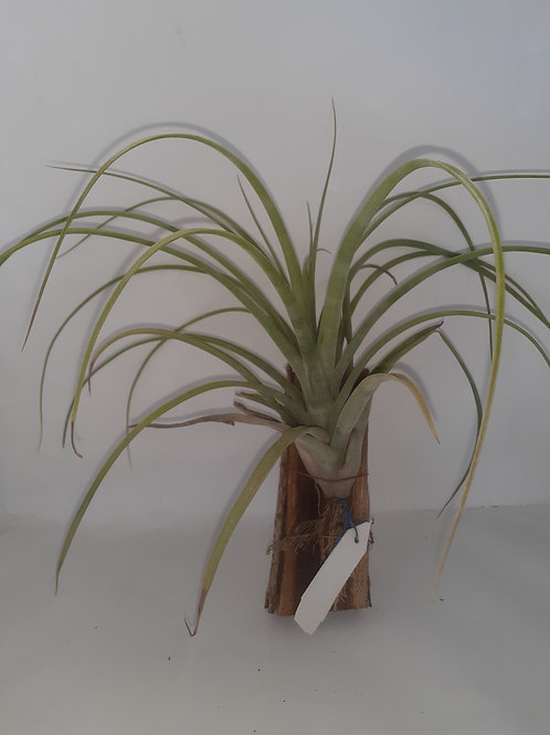 Neblina (El utimo x streptophylla)
