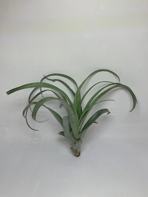 Lautneri  (capitata guzmanoides)