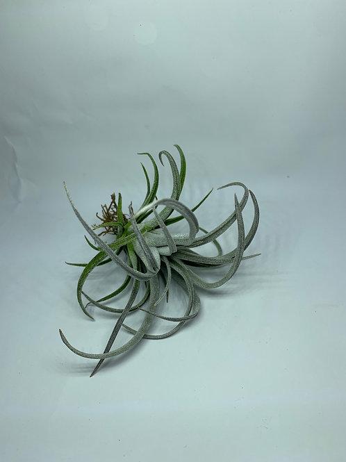 copanensis x zacapanensis