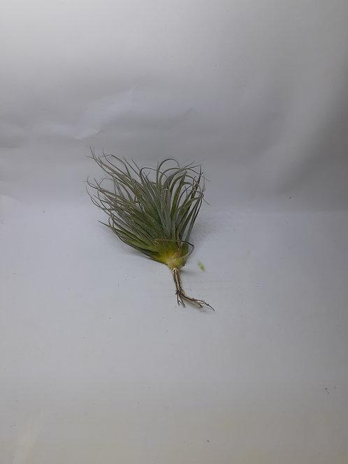 Houston enano (T. stricta x T. recurvifolia)