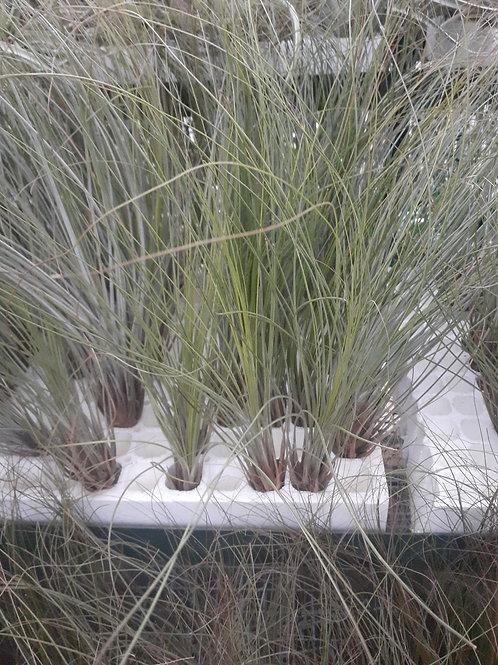 Juncifolia