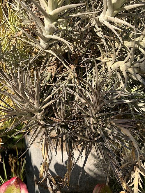 aeranthos amethyst