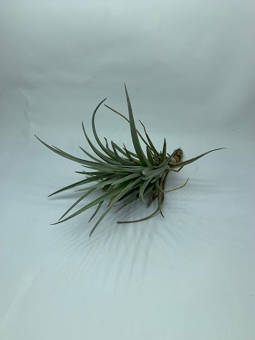 stricta white flower