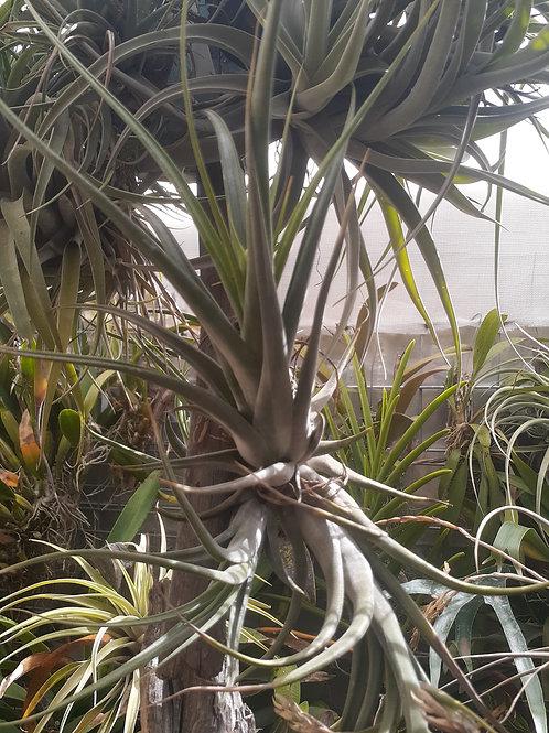 paucifolia (circinnata)