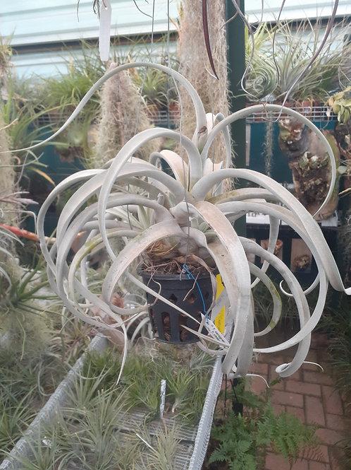 Silverado  (T.chiapensis x T.xerographica)