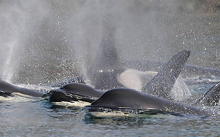 Center for Whale Research - Our Research